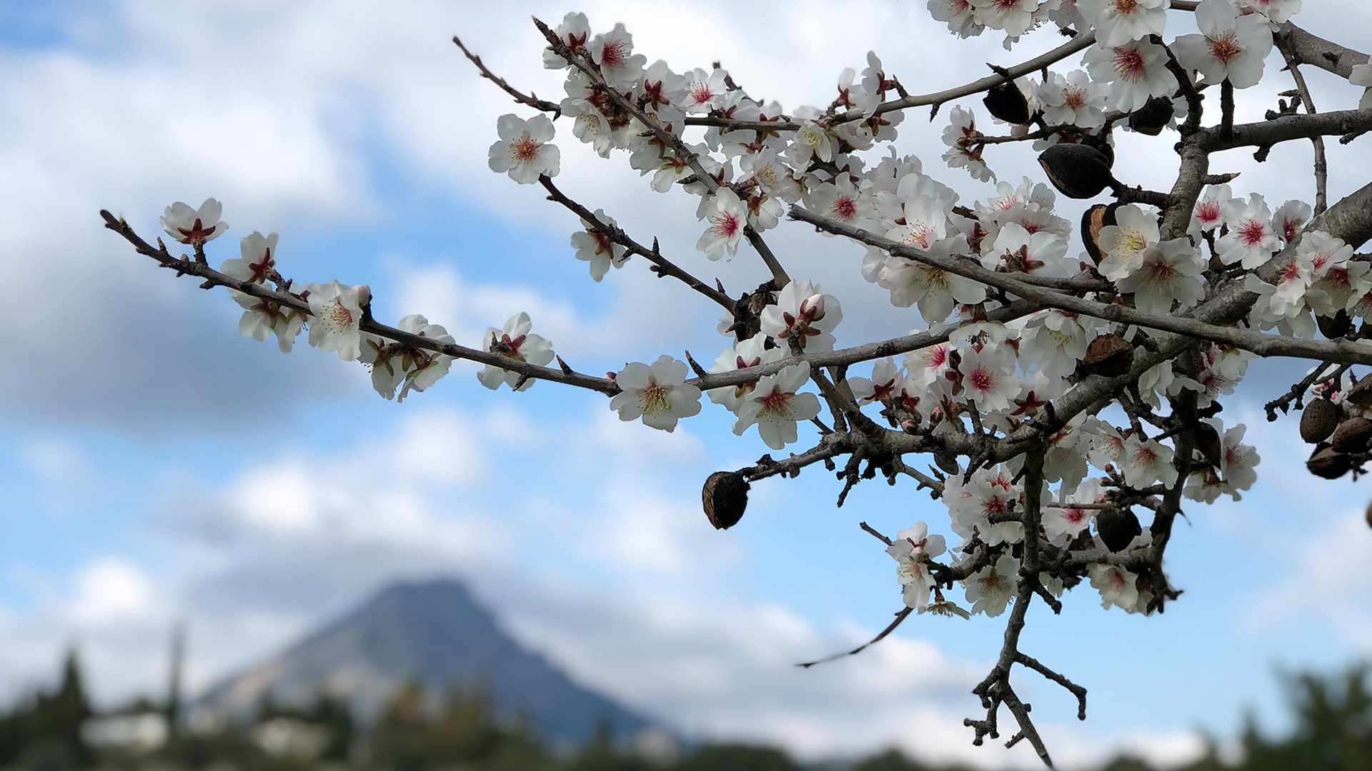 Almon Blossom Tree Mountain View Mallorca Adèle Chrétien Yello There Photography