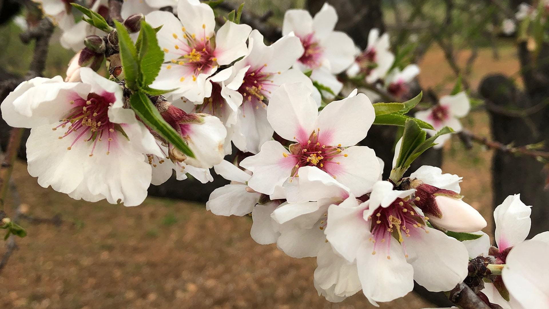 Almond Blossom Photo Contest Mallorca Katarina Nillson min