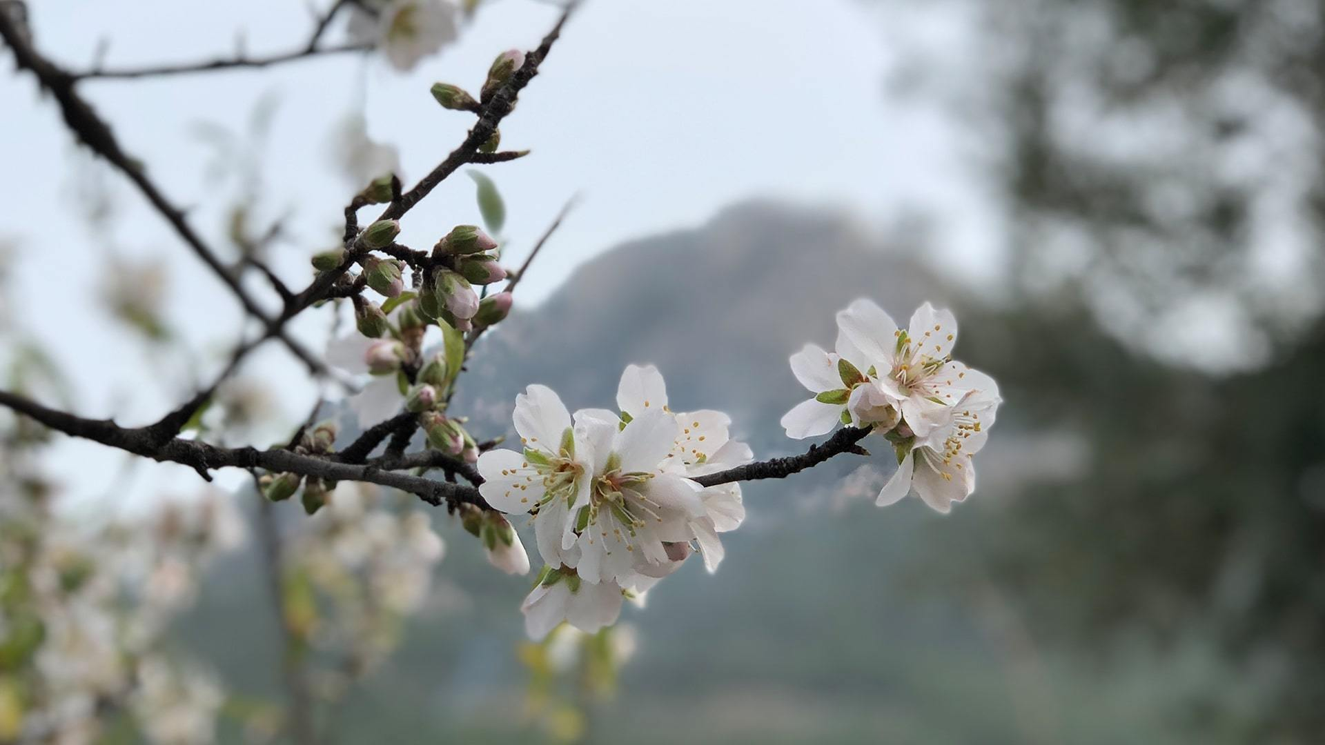 Almond Blossom Photo Contest Mallorca Sandra Mendiburu min