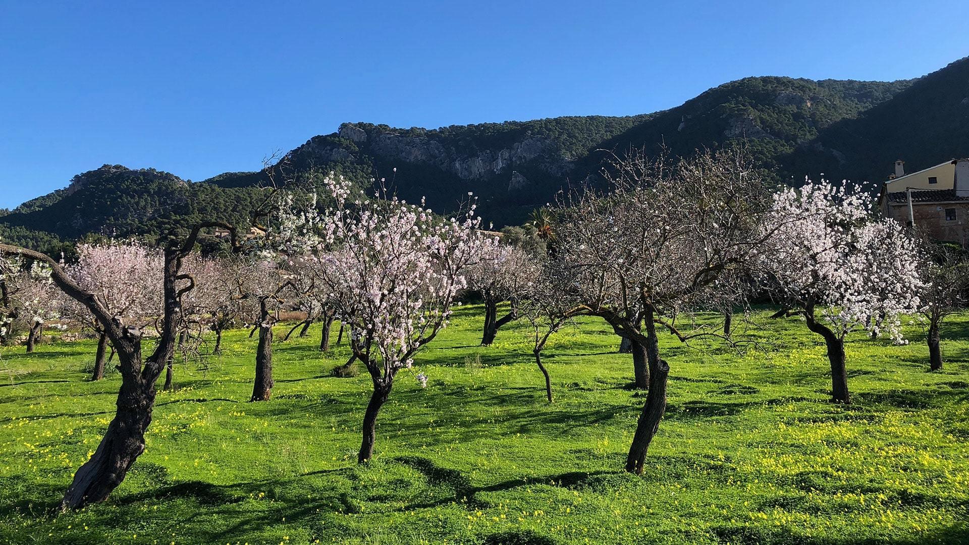 Almond blossom trees Mallorca by Ulla min
