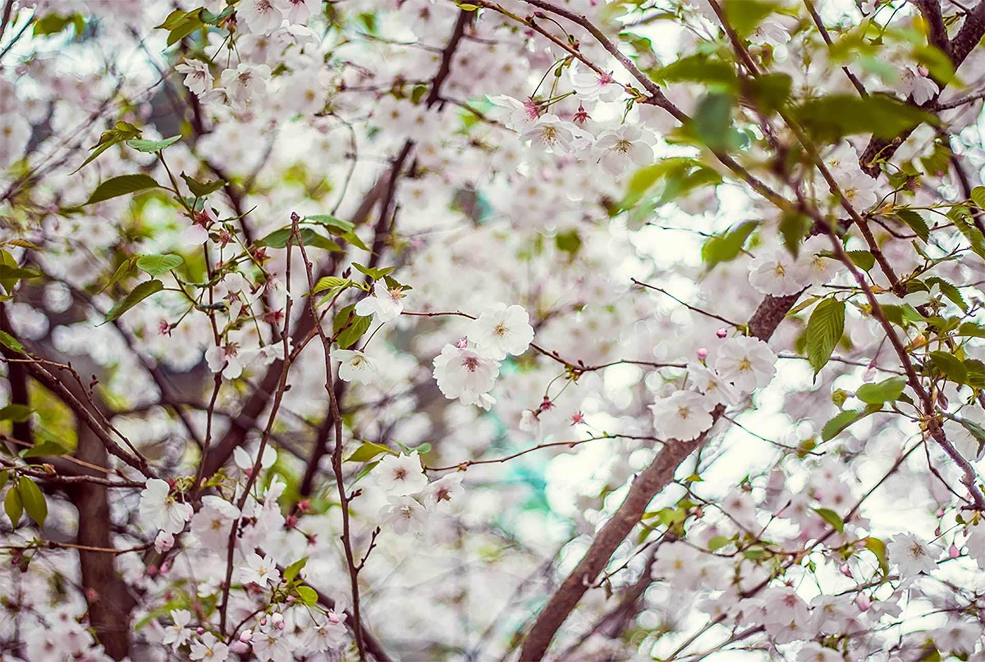 Almonds Blossom Mallorca