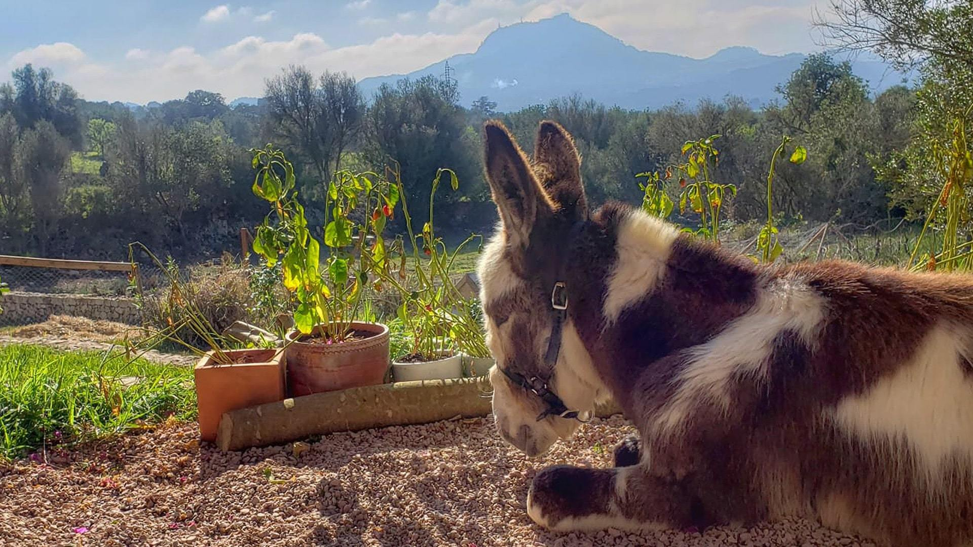 Solysia solar pannels Mallorca donkey with mountain view min