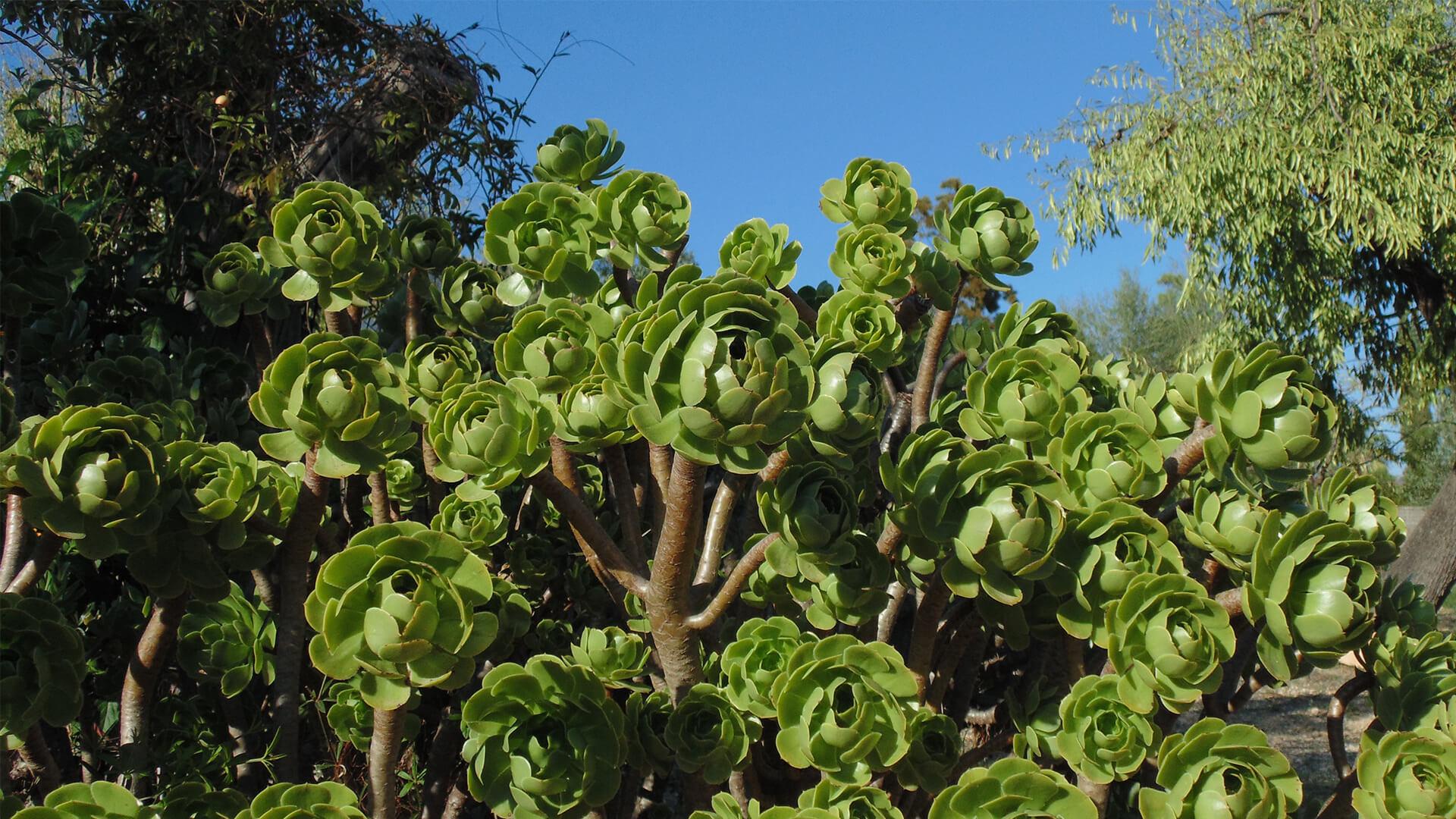 Aeonium andratx autumn mallorca garden