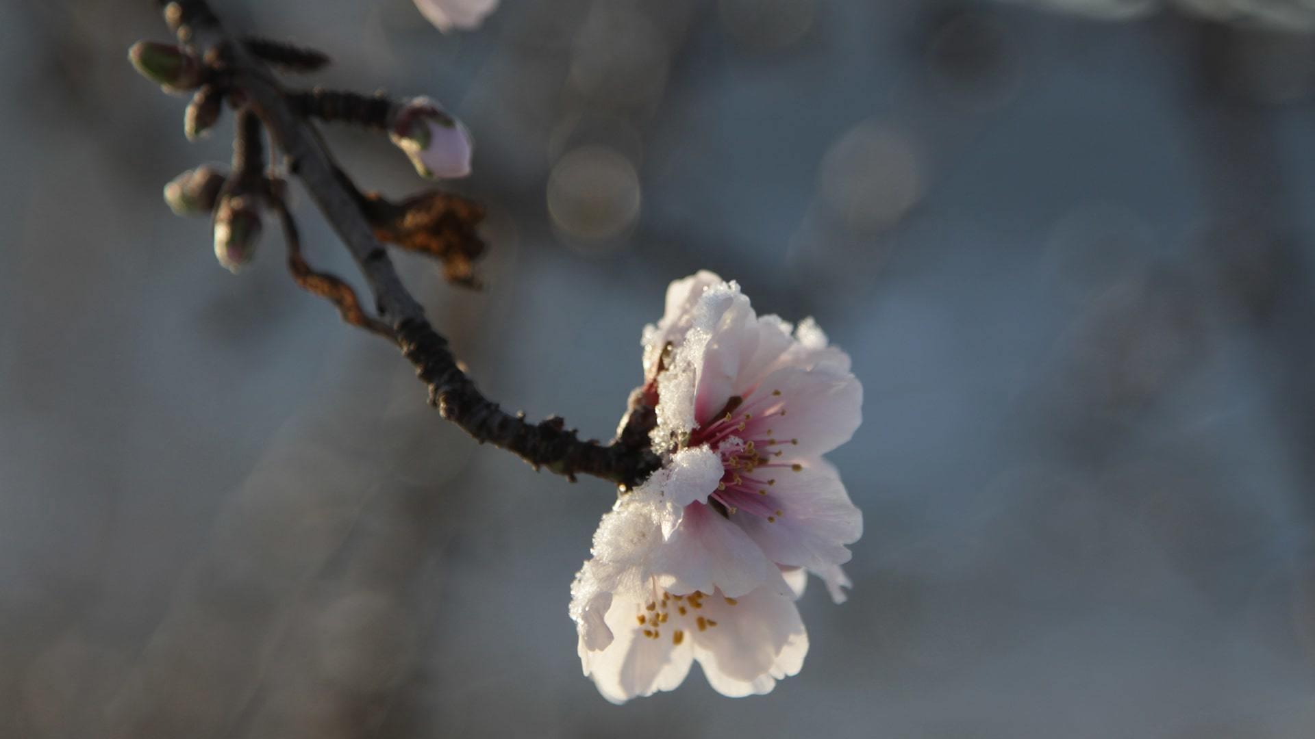 Almond blossom flower with snow by Ulla min
