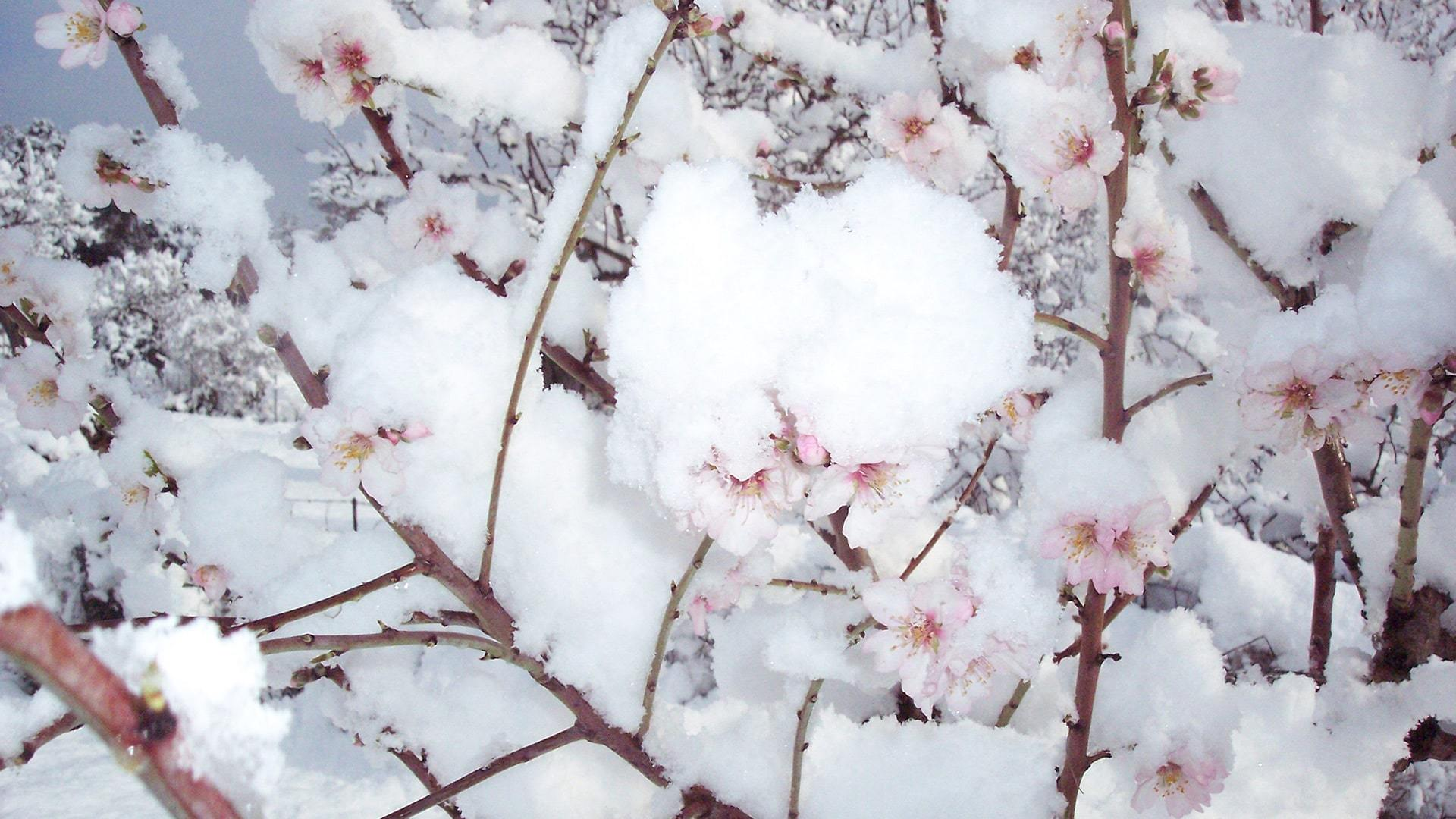 Almond tree flowers in snow Mlalorca by Ulla min