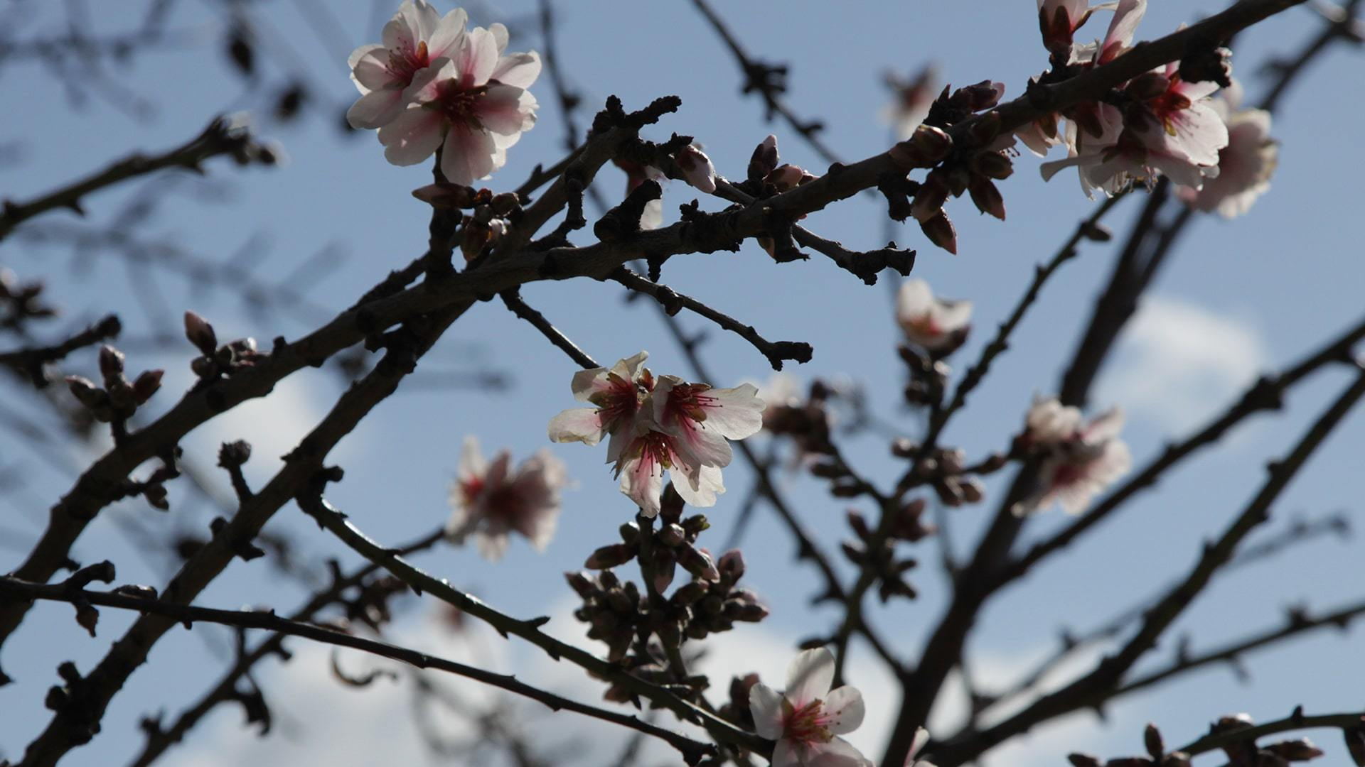 Close up almond blossom by Ulla min