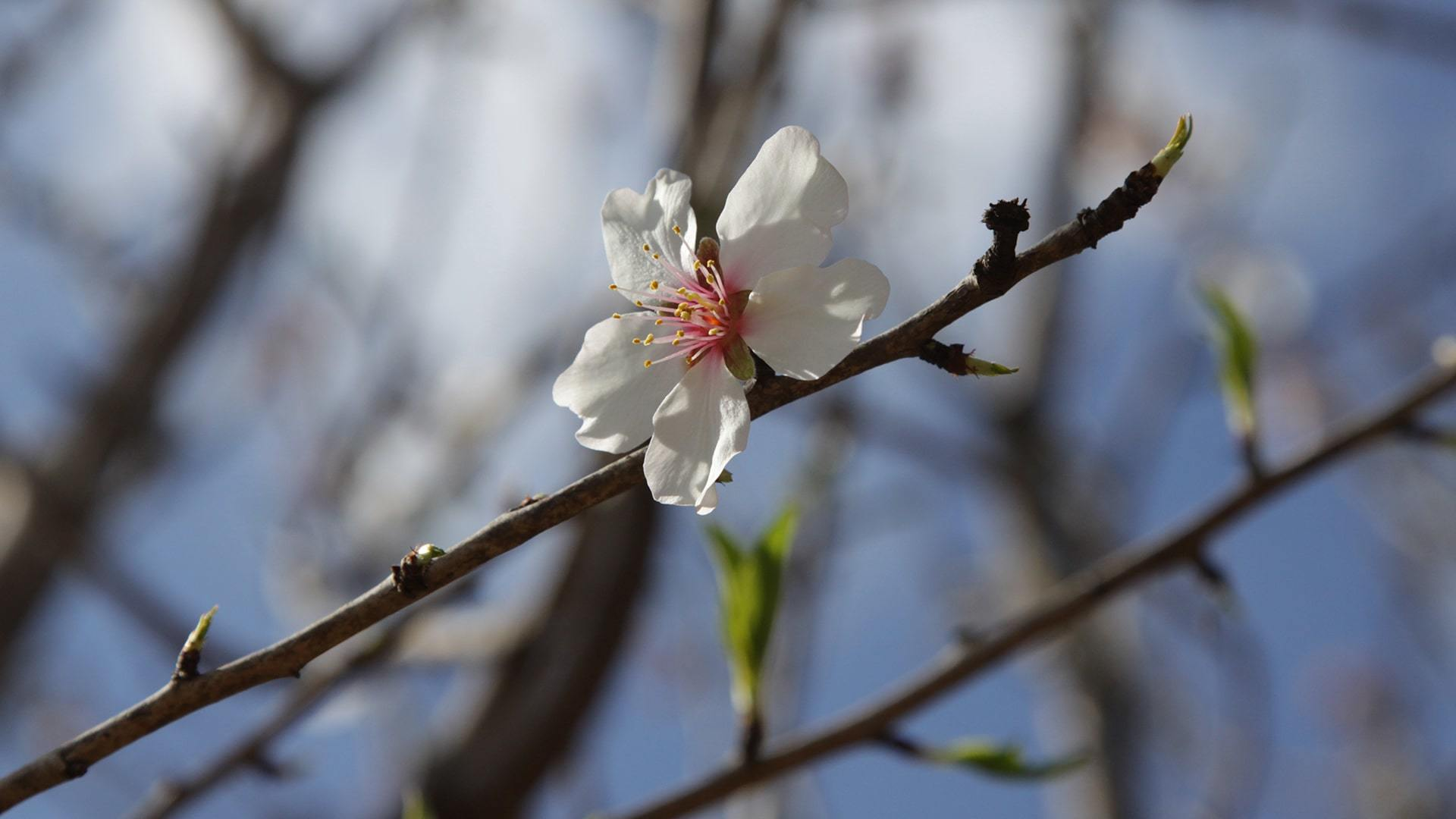 Gorgeous almond blossom flower min