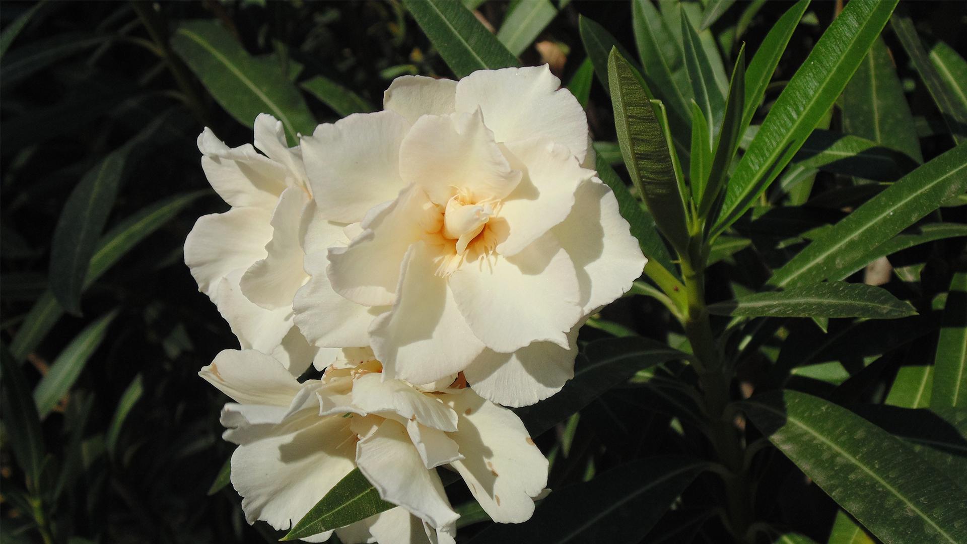Oleander autumn garden